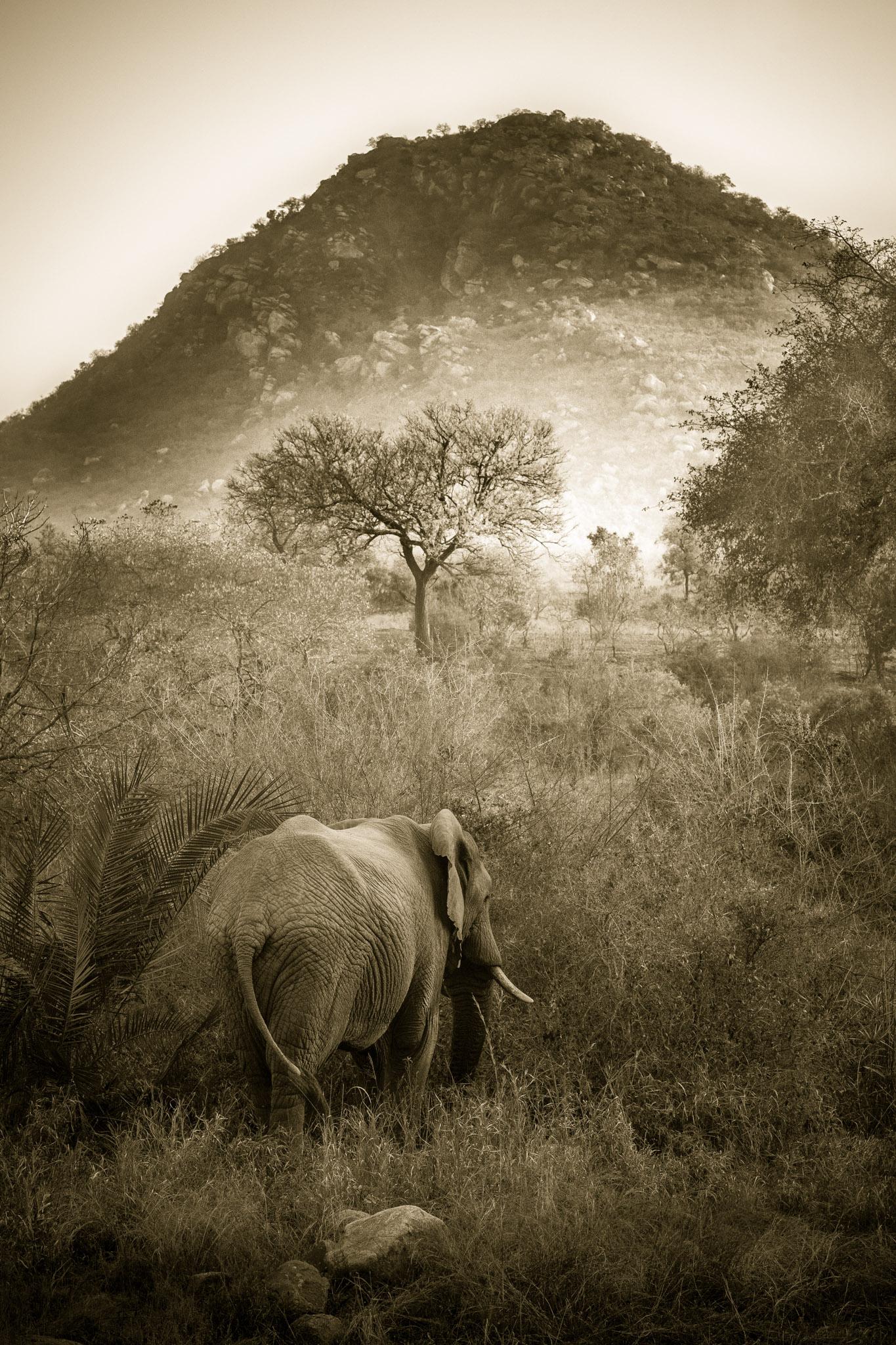 Sepia Tone - Elephant, Berg-en-Dal, Kruger.