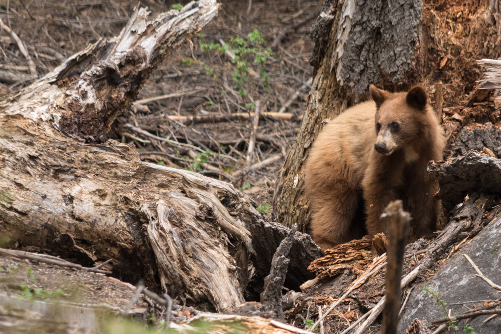Baby-bear-Redwood-Sequioa-Park